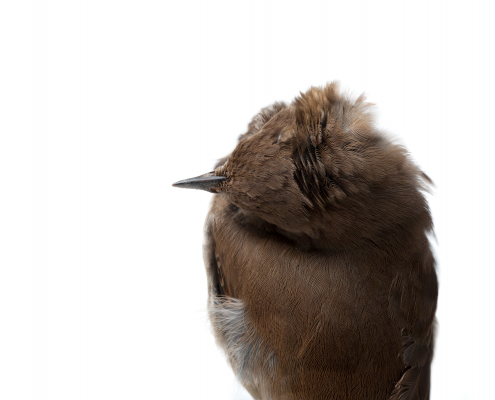Miranda Brandon (b. 1981, Oklahoma; lives in Minneapolis) Impact (Hermit Thrush), 2014 Archival pigment print 44 x 65 inches Collection Minnesota Museum of American Art, Purchase, Acquisition Fund, 2014.09.01